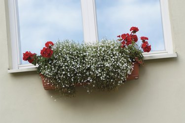 Red Ivy Geranium and white Lobelia in a window box