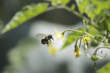 Bee pollinating tomatoes