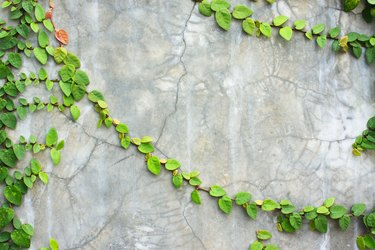 Creeping fig on a wall.