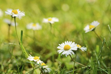 Daisies in grass lawn on a sunny day