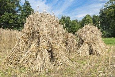 Sheaves of rye standing at cornfield