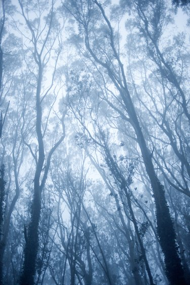 Eucalyptus tree branches in fog, low angle view
