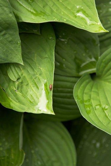 Lady beetle and raindrops on Hosta leaves