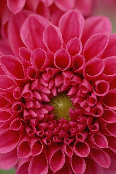 Close-up on Dahlia