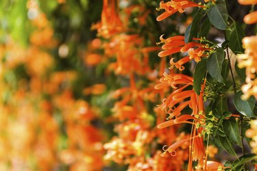Close up Orange trumpet, Flame flower, Fire-cracker vine