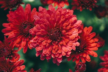 Beautiful Red Chrysanthemums