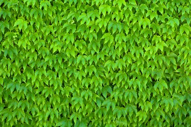 Wall covered with Boston Ivy.