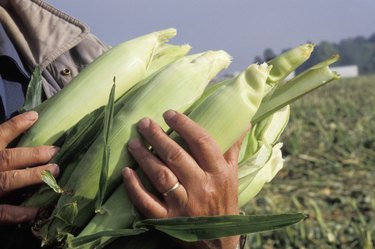 Hands Holding Ears of Corn in Field