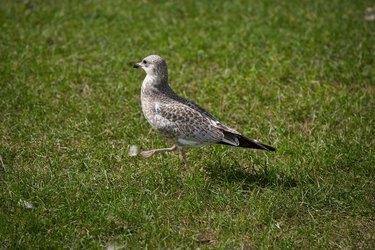 Gull walking on lawn
