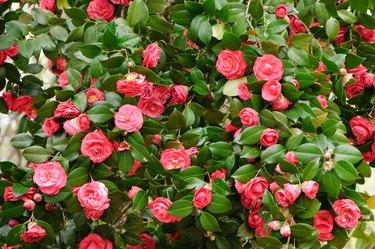 Red camelia bush