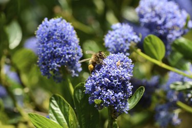 Honeybee collecting pollen on a ceanothus