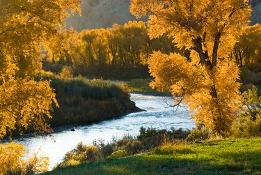 Golden Cottenwood Trees and River in Autumn