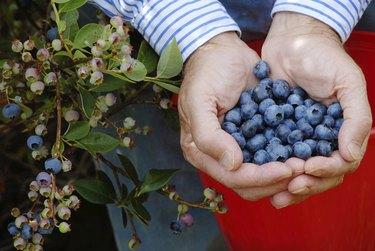 Handful of Blueberries