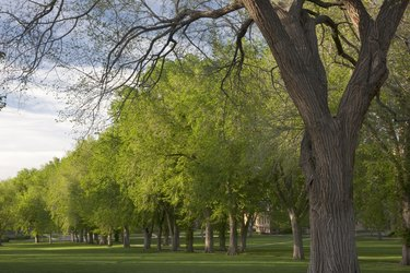 Alley of old American elm trees in spring