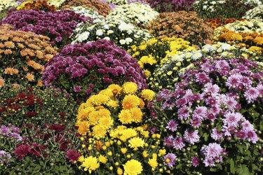 chrysanthemum autumn scene