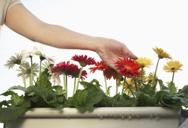 Woman touching gerbera flowers in pot, close-up of hands