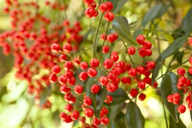 Red Winter berries on a nandina bush.