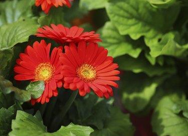 Gerbera Daisy. Red Flowers