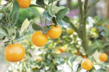 Orange orchard with unripe oranges