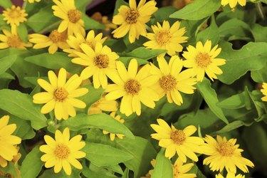 Little yellow star flower.