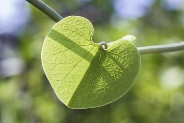 Dutchman's pipe vine leaf.