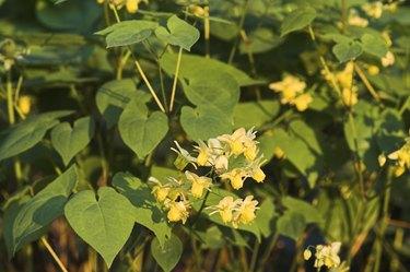 Elfenblume, barrenwort, epimedium