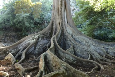 Giant Roots
