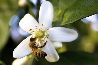 Bee on Orange Blossom