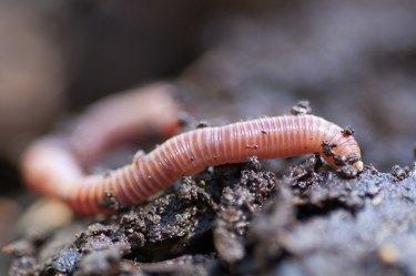 Earthworm in damp soil