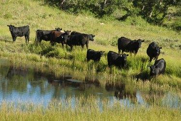 Black Angus Cattle and pond on the Kolob Plateau Utah