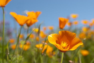 Beautiful California Golden Poppies, California's state flower (Eschscholzia californica), on a sunny spring day.