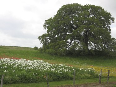 Live Oak Tree With White Poppies