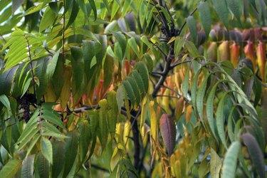 Sumac leaves in autumn