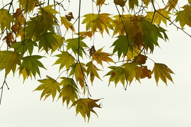 Japanese maple leaves, Japan, view from below