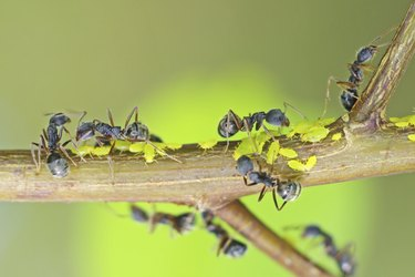 black ants are taking care aphids