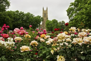 Duke Chapel in Durham, North Carolina, with  rose garden in foreground