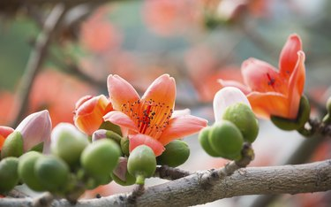 Silk Cotton Flowers