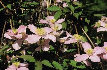 Clematis vine, pink