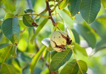 ripe walnut
