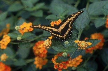 Butterfly on lantana flowers