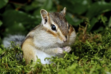 Chipmunk in forest