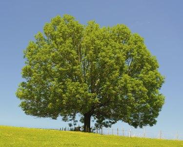 single perfect ash tree at spring