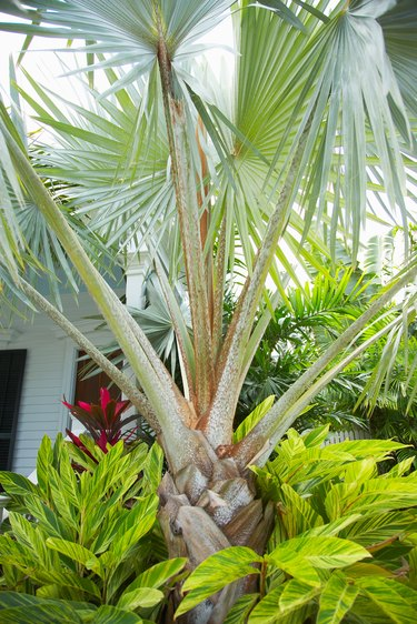 Fan palm and tropical vegetation in urban landscaping