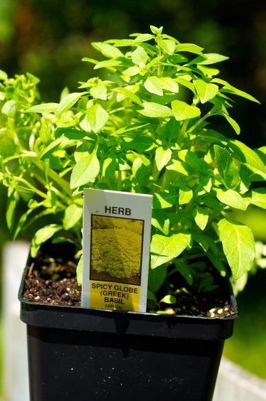 Greek basil plant