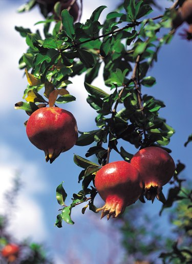 Ripe pomegranates on tree branch