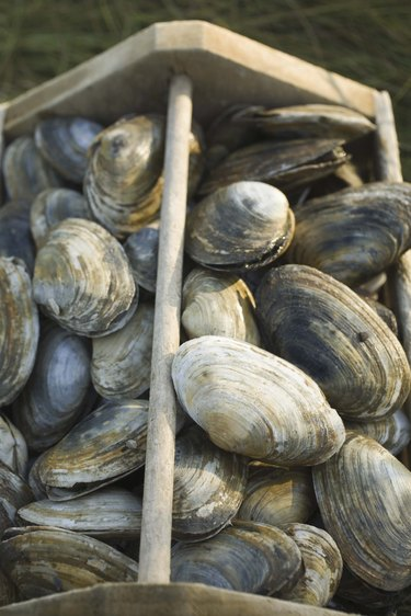 Crate of raw clams