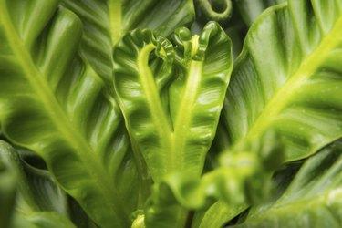 Bird nest fern, also call artist fern in thailand