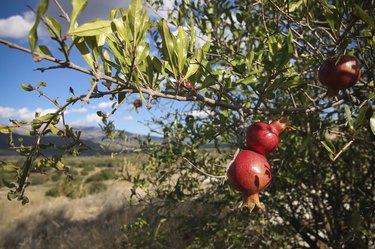 Mediterranean Pomegranate Tree