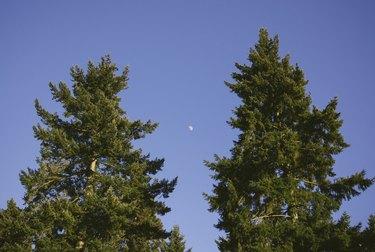 Moon in clear blue evening sky above Douglas Fir trees.