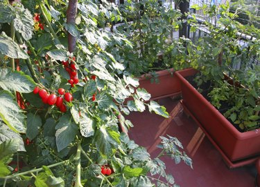 tomato plants with red fruits grown in a pot